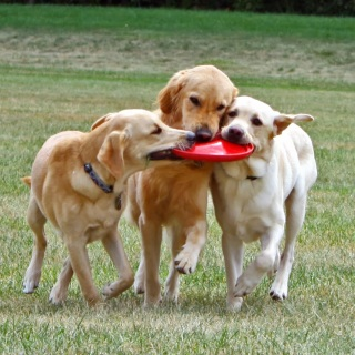 three dogs playing